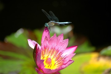 Dragonfly resting on a pink water lily; A pink lotus flower with a dragonfly perched on it