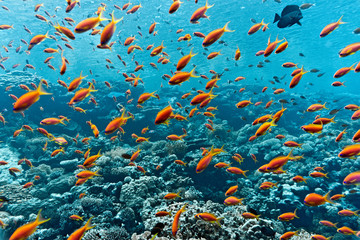 Deurstickers Onder water Shoal of anthias fish on the coral reef