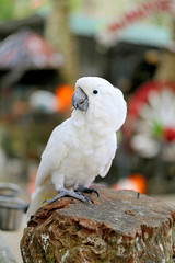 Beautiful white parrot cockatoo