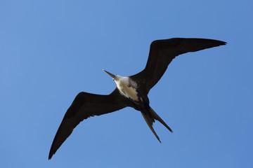 Big bird flying in the blue sky of La Guajira, Colombia