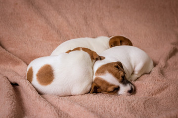 Jeck russell terrier