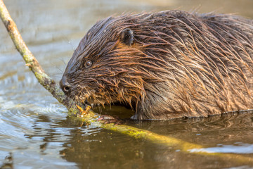 Eurasian beaver biting on a branch