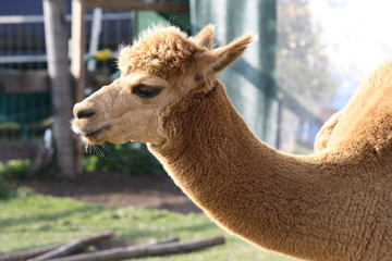 Profile Of Alpaca