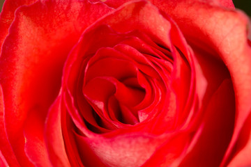 red rose petals as a background. macro