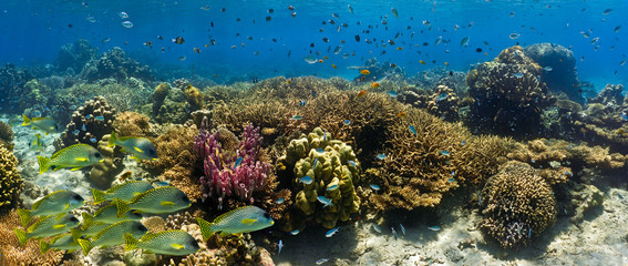 Aluminium Prints Under water Shoal of fish on the coral reef - panorama