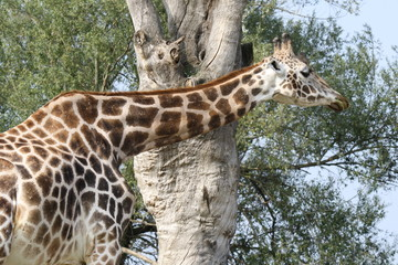Close up of a Giraffa