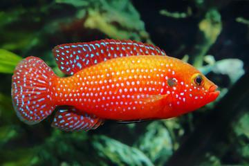 The African jewelfish (Hemichromis bimaculatus) In Aquarium