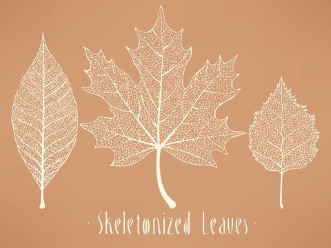 Skeletonized leaves collection