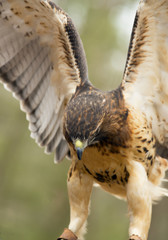 Vertical-Red Tailed Hawk with wings spread ready to fly.