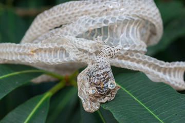 Snake molt on the tree