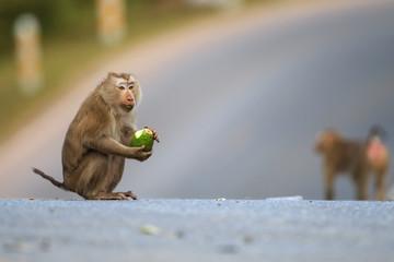Pig-tailed Macaque(Macaca leonina) in Khaoyai national park,Thailand