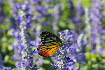 Monarch Butterfly on the  Lavender  in  Outdoors garden.