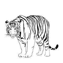 Tigers stare victim. Victor