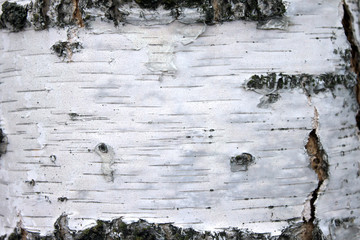 close up of birch bark texture, natural background paper