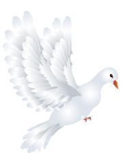 White Pigeon Illustration