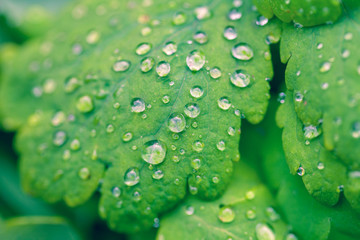 Green leaves cowered with water drop