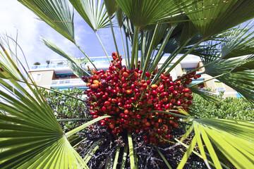 fresh palm fruit