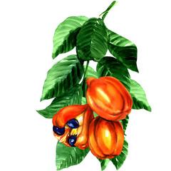 tropical blighia sapida fruit, Ackee tree