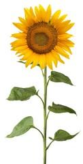 Sunlower