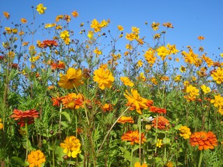 Group of cosmos and zinnia orange flowers on blue sky