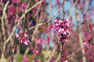 image of Spring Cherry blossoms tree. selective focus photo