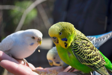 Yellow and green budgie sitting on a hand