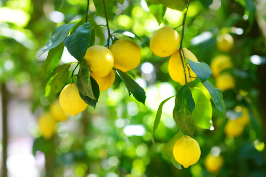 Bunch of fresh ripe lemons on a lemon tree branch