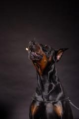 Doberman pincher on black background.