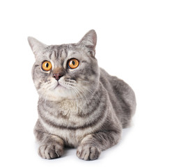 Grey cat isolated on white background