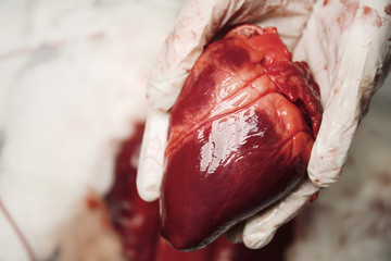 Doctor holding heart, closeup