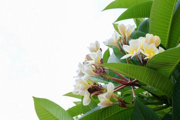 white frangipani tropical flower, plumeria flower fresh blooming