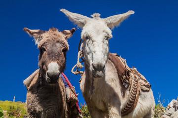 Curious donkeys in Cabanaconde village, Peru