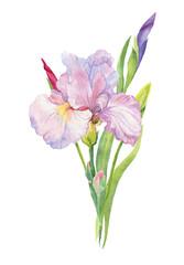 iris , flower, flowers, watercolor,