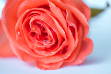 Red rose close-up. Abstract background.