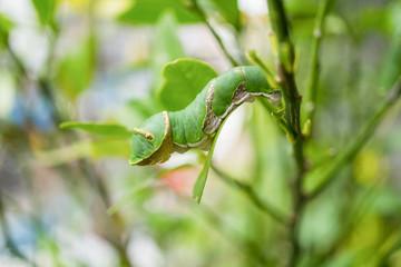 Green Caterpillar, close up