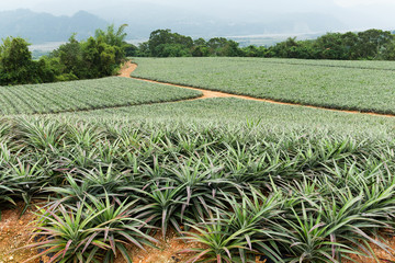 Pineapple field in TaiTung, TaiWan