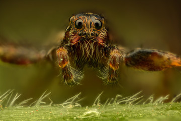 Extreme magnification - Brown spider, front view