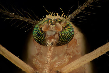 Extreme magnification - Mosquito head, front view