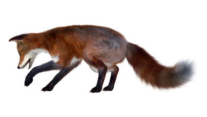 Red Fox on White