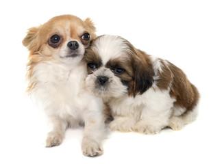 young puppy shitzu and chihuahua