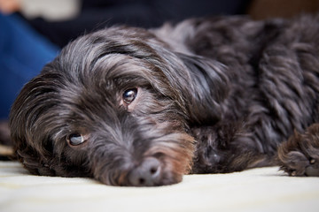 Havanese dog on the couch at home