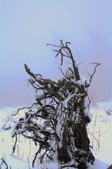 Root of an uprooted tree. Winter snowy image. Torso.