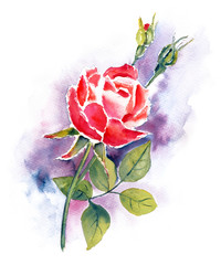 Red rose watercolor painting on white background