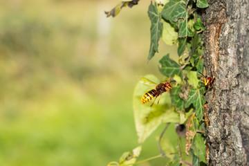 European hornet (vespa Crabro) flying to the nest