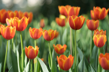 Orange tulip, Selective focus