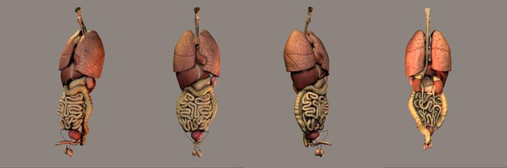 medical illustration of the organs system
