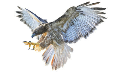 Falcon flying hand draw and paint vector illustration on white background.