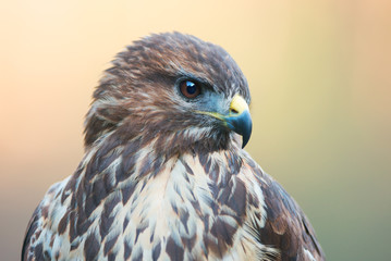 Common buzzard portrait (Buteo buteo)