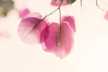 Cerca immagini bouganville for Bougainvillea bonsai prezzo