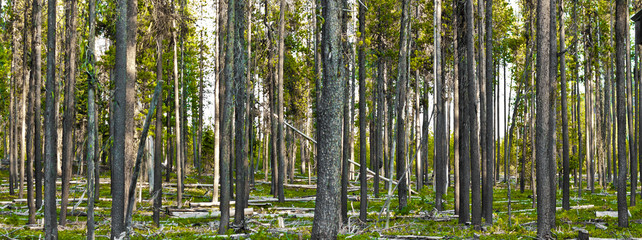 forest of tree trunks